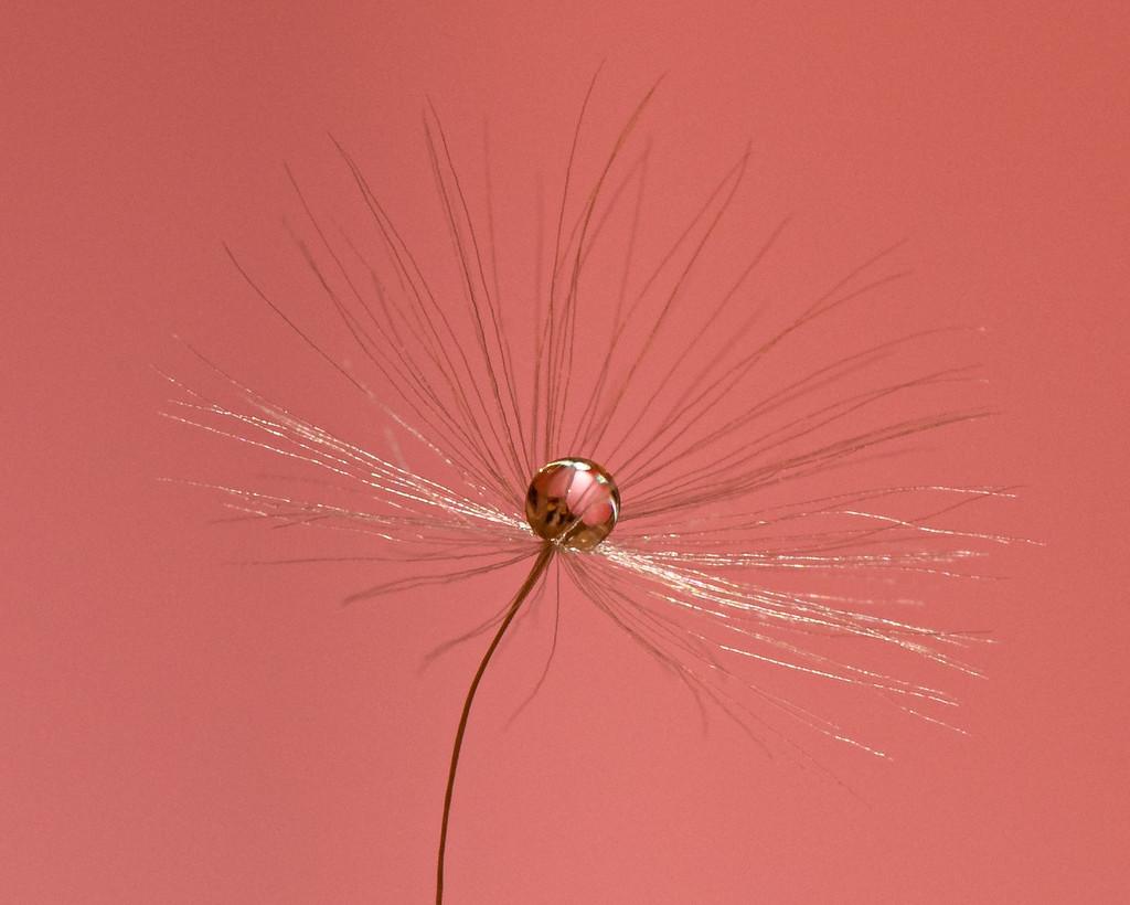 dandelion clock macros by jackies365