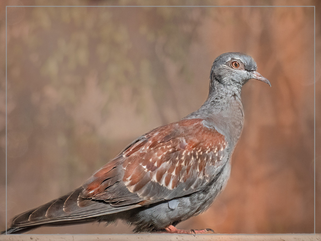 Juvenile Speckled Pigeon by ludwigsdiana