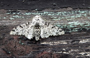 24th May 2020 - peppered moth