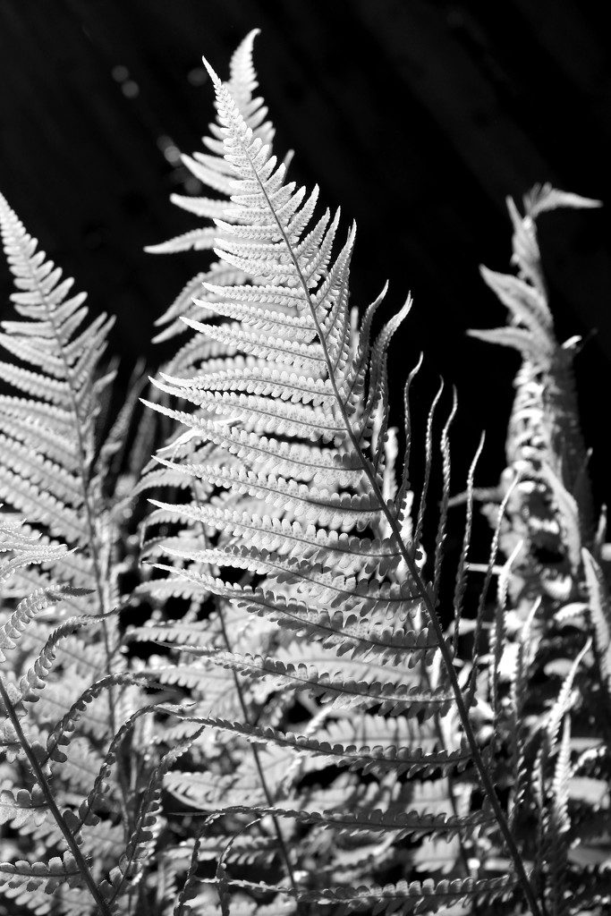 19th May Fern in BW by valpetersen