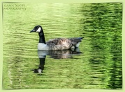 24th May 2020 - Canada Goose