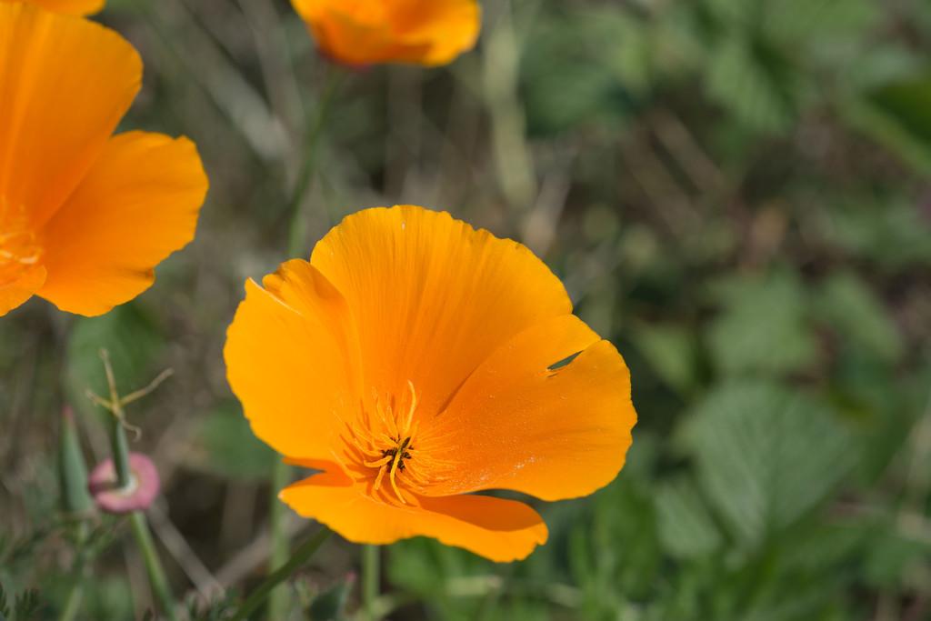 California poppies by rumpelstiltskin