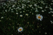24th May 2020 - Shasta daisies