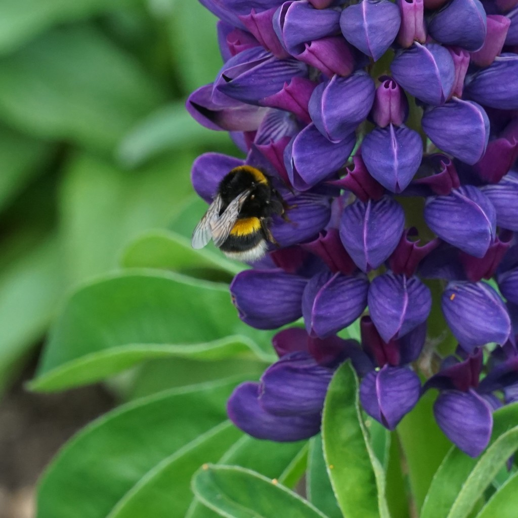 bee, lupin, and leaves by quietpurplehaze