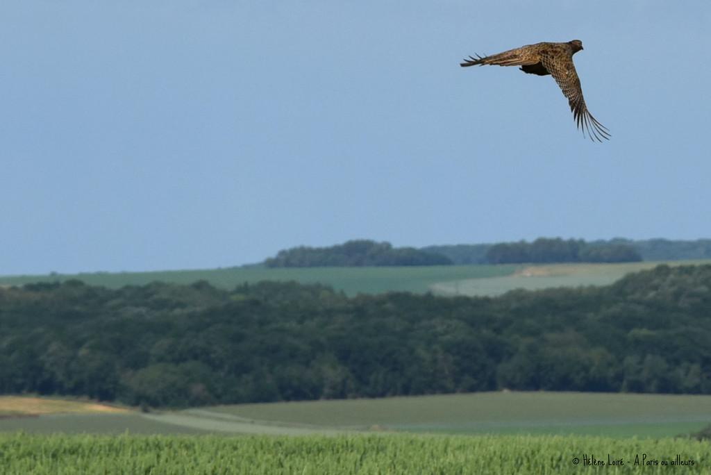 Lady Pheasant by parisouailleurs