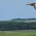 Lady Pheasant
