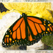 Day 145 -Monarch Butterfly
