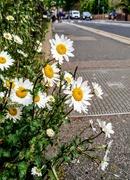 13th May 2020 - Oxeye daisies
