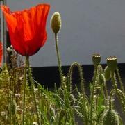 24th May 2020 - Poppies