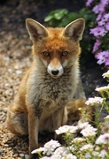 16th May 2020 - Sitting fox