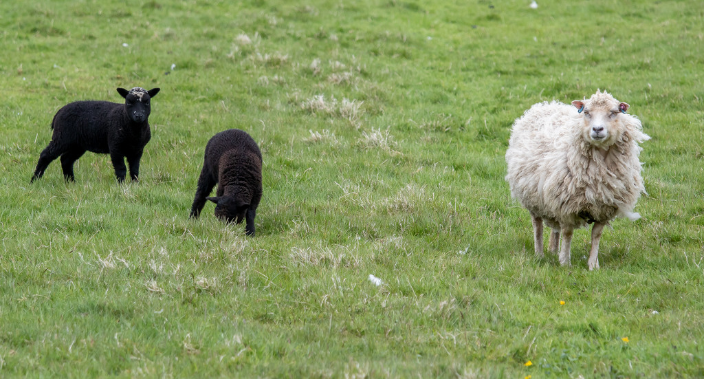 Black Sheep of the Family by lifeat60degrees