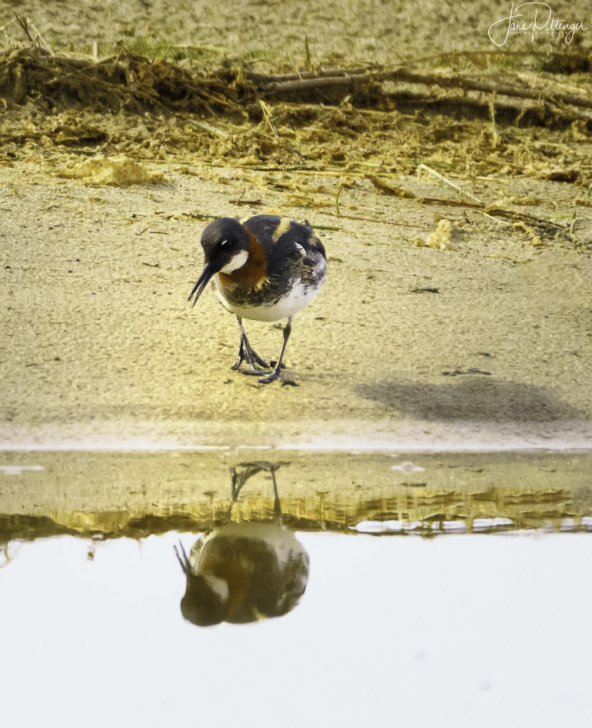 Red Necked Phalarope Talking To Her Reflection by jgpittenger
