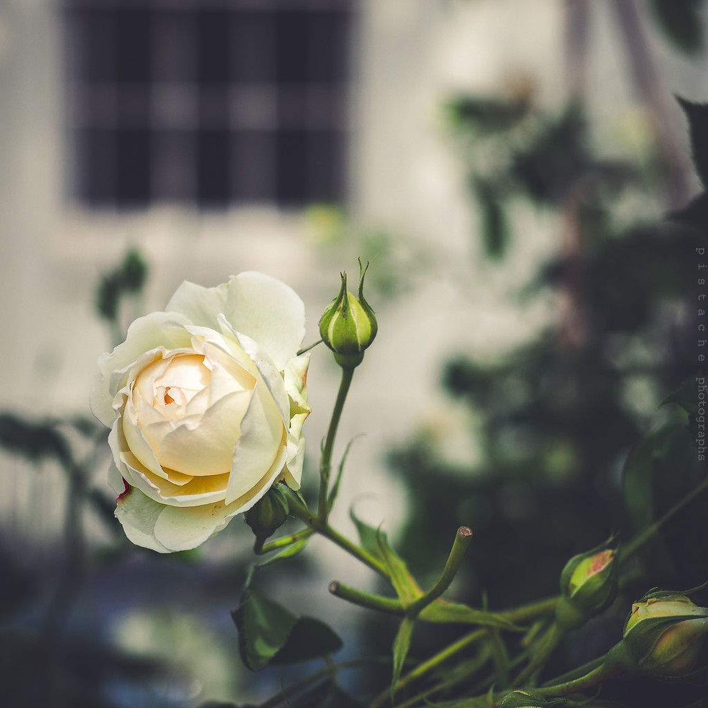 apricot rose by pistache