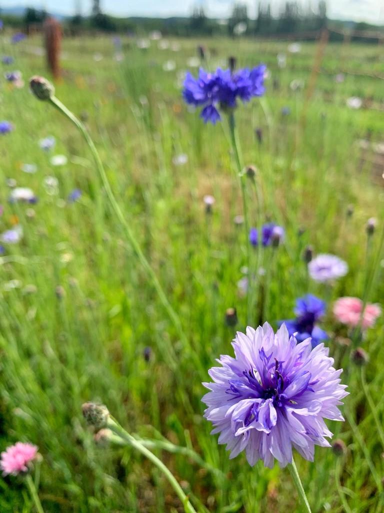 Purple and blue.  by cocobella