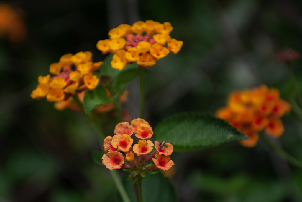 Lantana... by thewatersphotos