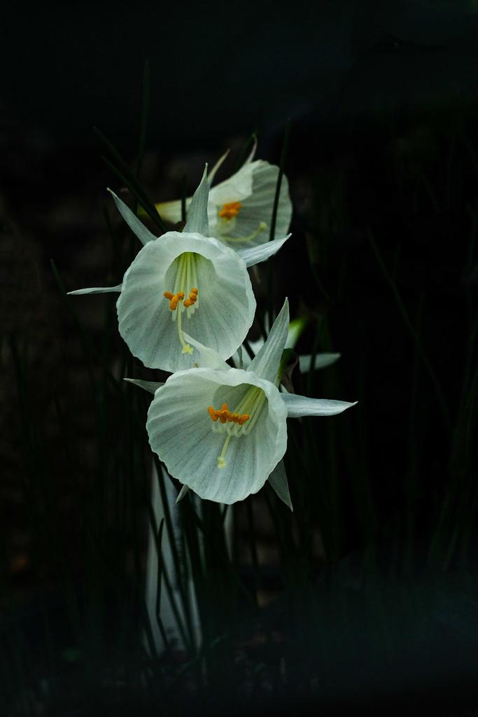 Alpine flower by maureenpp