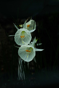 25th May 2020 - Alpine flower