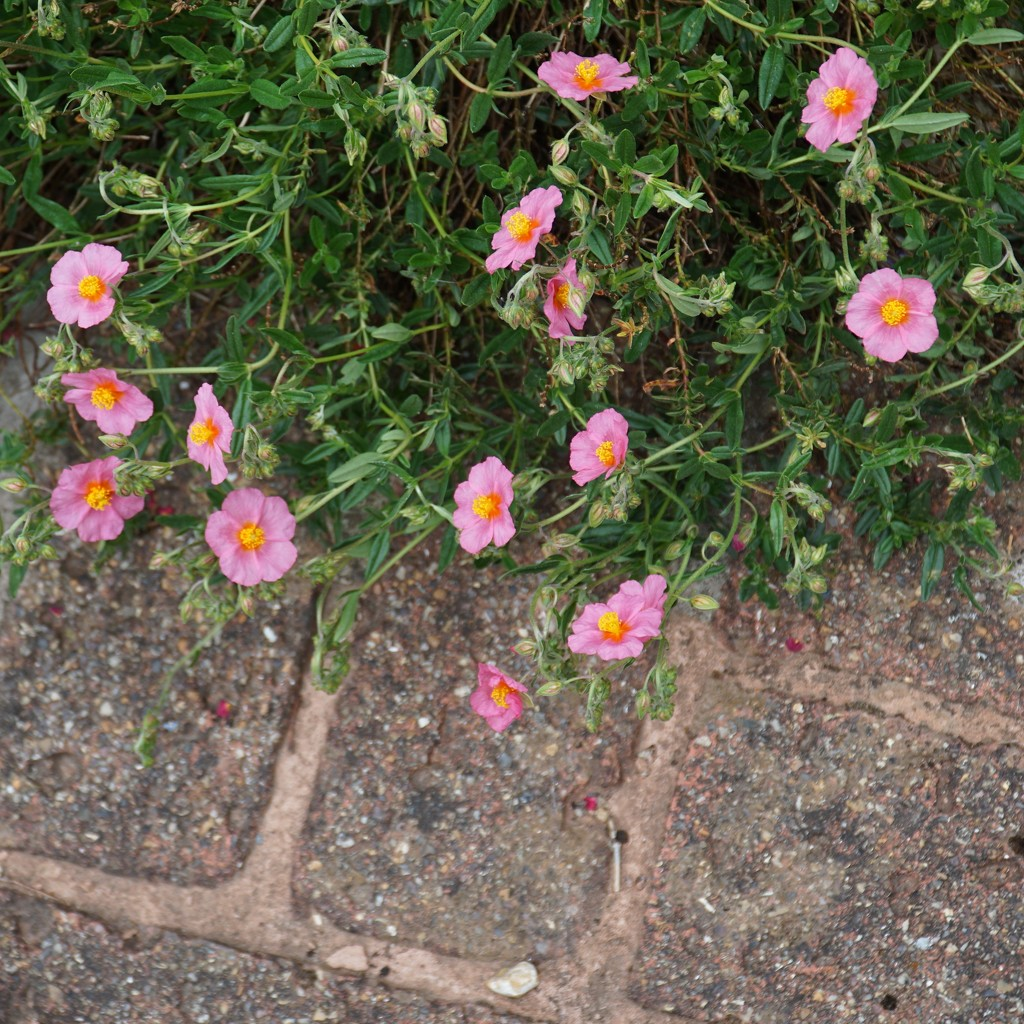 brick path and pink helianthemum by quietpurplehaze