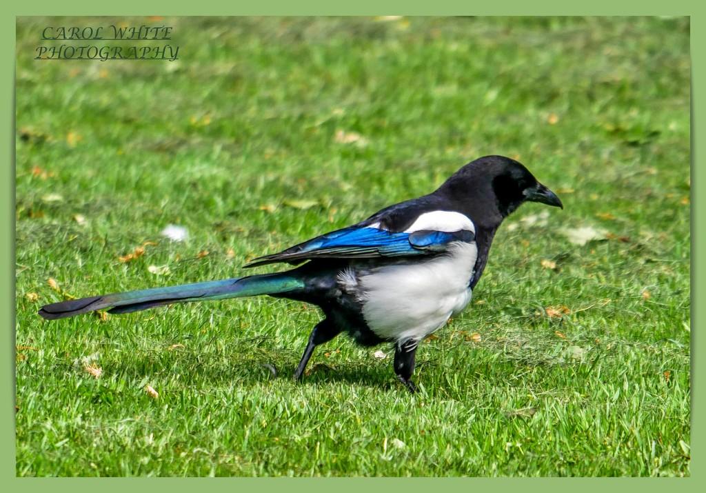 Magpie by carolmw