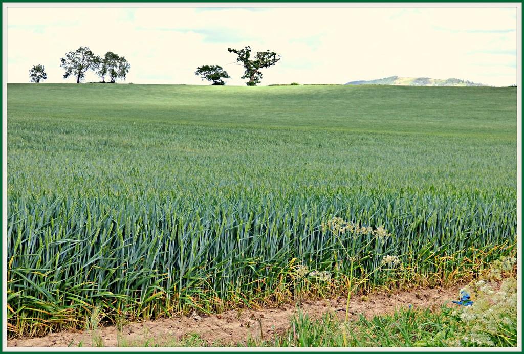 A field of wheat !  by beryl