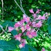 Horse Chestnut Tree Blossom...
