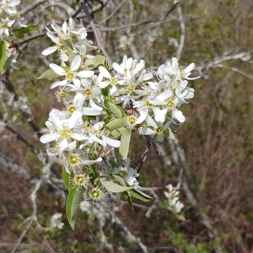 Wild Cherry Tree by kfpartist