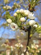 26th Apr 2020 - Tree flowers 4-26-20