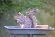 23rd May 2020 - Squirrel