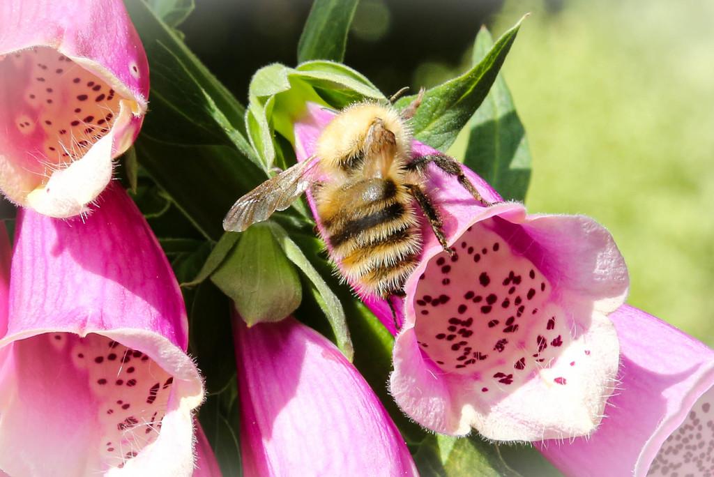 Mr Fuzzybum Bee by nicolaeastwood