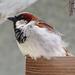 House Sparrow by bjywamer