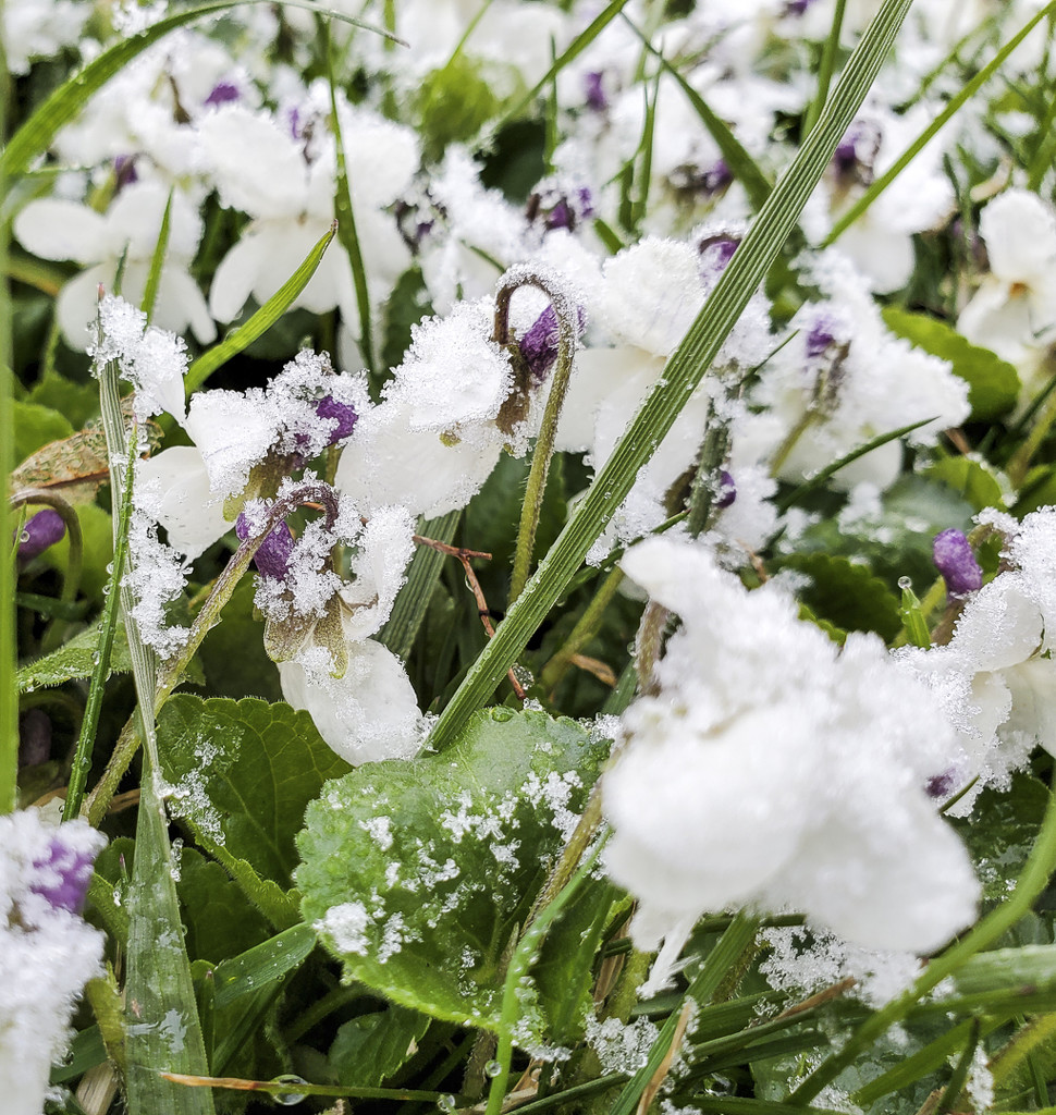 Snow-covered violets by houser934