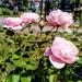 Stoneydown roses