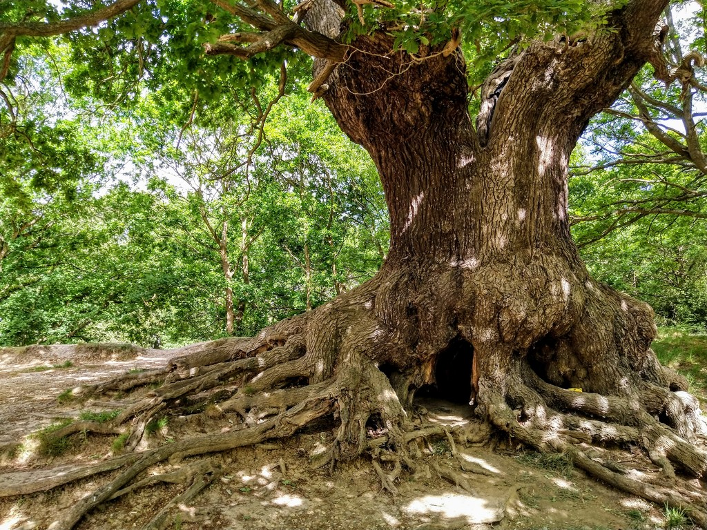 Oak tree at Warren Pond, Epping Forest by boxplayer
