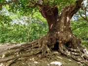 23rd May 2020 - Oak tree at Warren Pond, Epping Forest