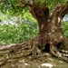 Oak tree at Warren Pond, Epping Forest
