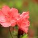 Y11 0525 Pink Azalea