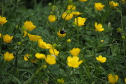 24th May 2020 - Busy bee at work among the buttercups.