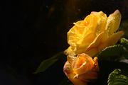 25th May 2020 - Raindrops on Roses