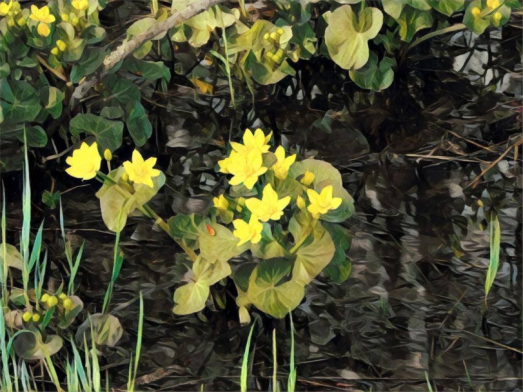 Marsh Marigolds by radiogirl