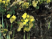 26th May 2020 - Marsh Marigolds