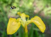 25th May 2020 - Yellow flag iris