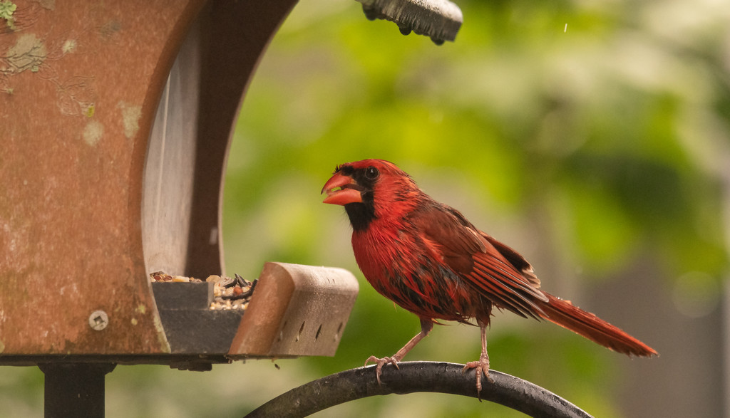 Wet Cardinal at the Feeder! by rickster549