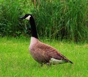 23rd May 2020 - Goose