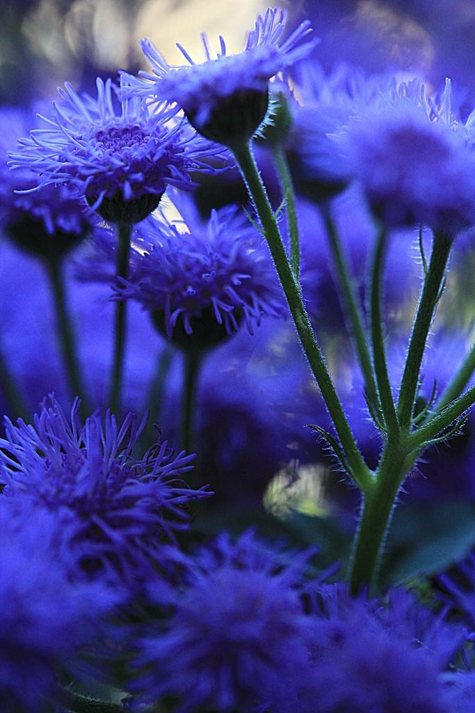 Blue or Purple  by digitalrn