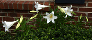 25th May 2020 - Lots of Lilies!