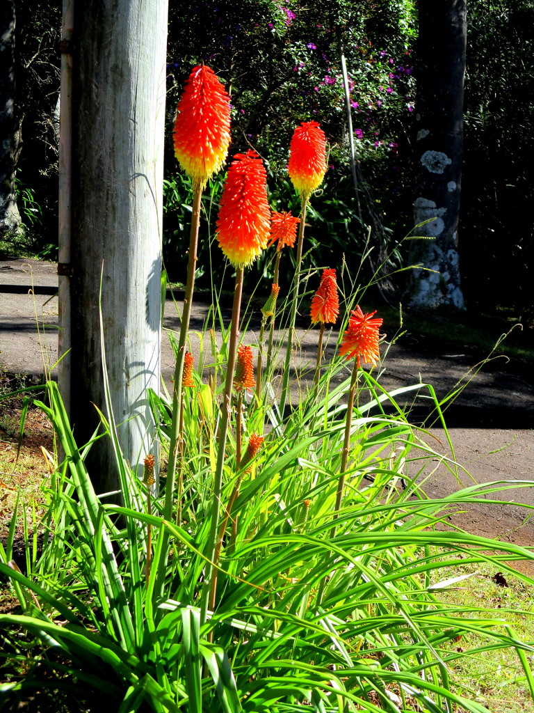 Red Hot Pokers on the Range by 777margo