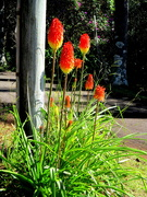 26th May 2020 - Red Hot Pokers on the Range
