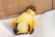 26th May 2020 - Duckling saved by Pete