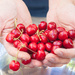CHERRIES....THAT GOOD...ONE LEADS TO ANOTHER.... by santina
