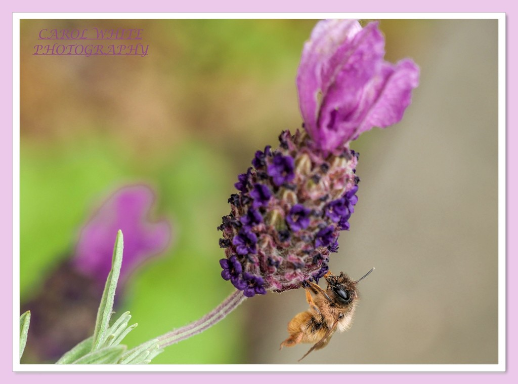 Bee And Lavender by carolmw